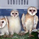 olibes centre fauna salvatge aiguamolls1